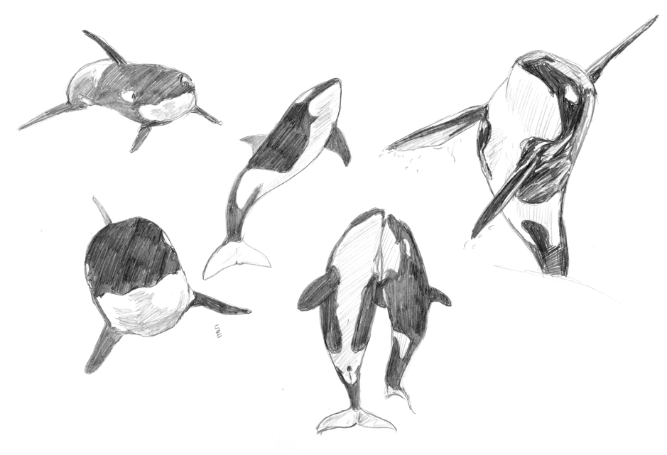 Back to the basics - cetaceans: orca