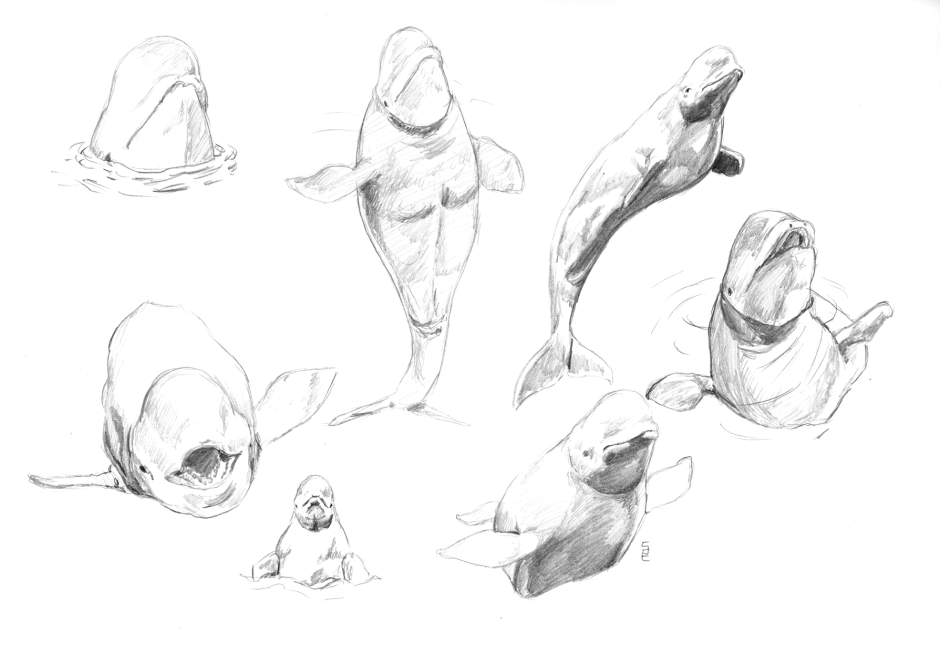 Back to the basics - cetaceans: beluga whales