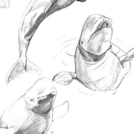 Back to the basics - cetaceans: beluga whales thumbnail