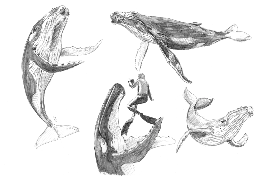 Back to the basics - cetaceans: humpback whales